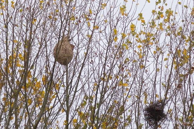 Frelon Asiatique - Découverte du nid